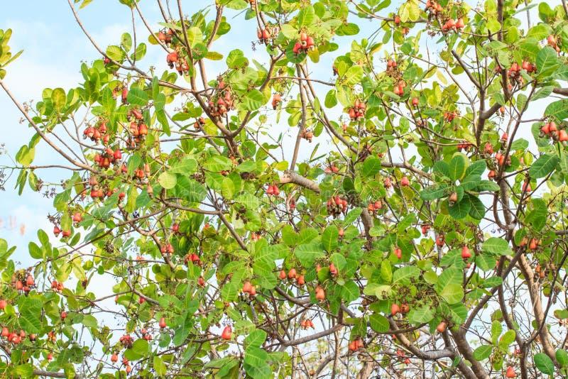 cashew som växer den nuts treen arkivfoton