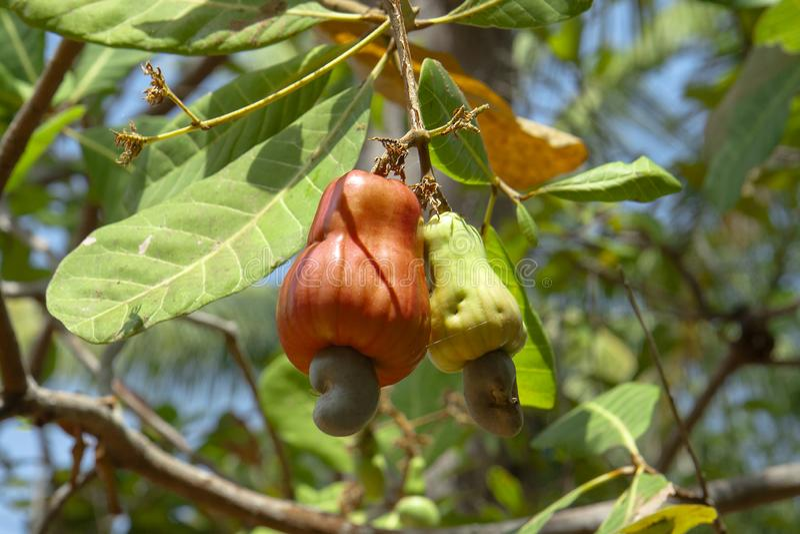 Cashewnoten Sappige Oranje Apple-Cachou Tropische Roze Cachou stock foto's