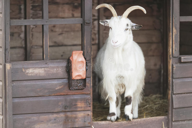 Cashmere Goat royalty free stock image