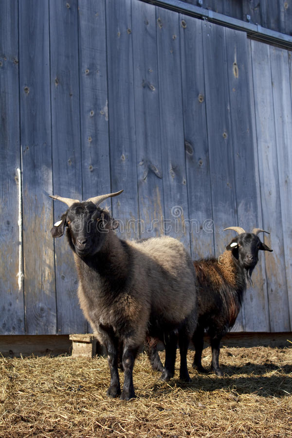 Cashmere Goats. Two pregnant female cashmere goats standing in front of a barn on a Vermont farm royalty free stock photography