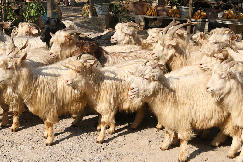 Cashmere goats. A herd of mostly white cashmere goats with long wool going out to the pasture stock images