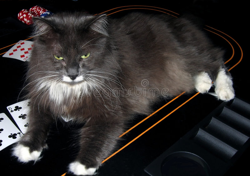Casino Cat. Poker Playing Cat royalty free stock photography