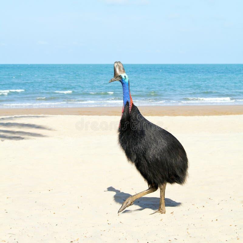 Casoar sauvage sur la plage en Australie images libres de droits