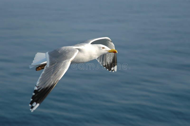 Caspian Gull stock photography