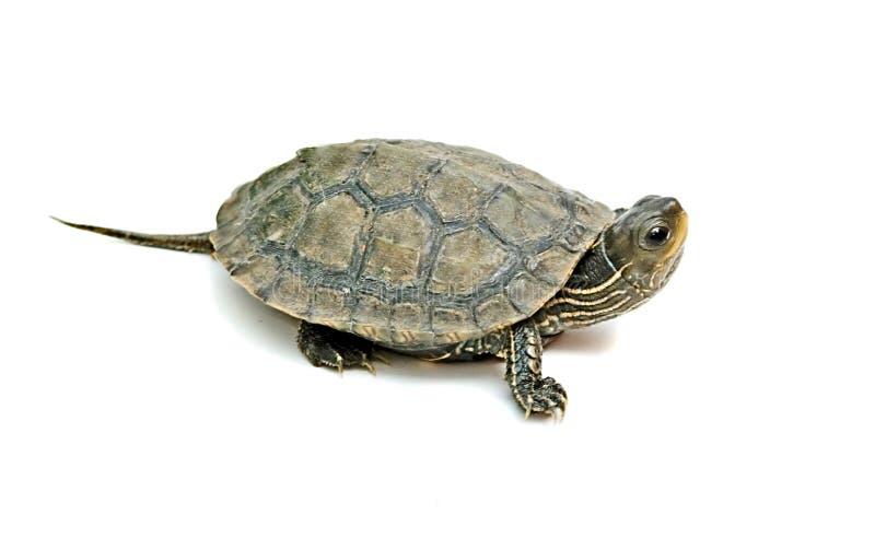 caspian sköldpadda royaltyfri fotografi