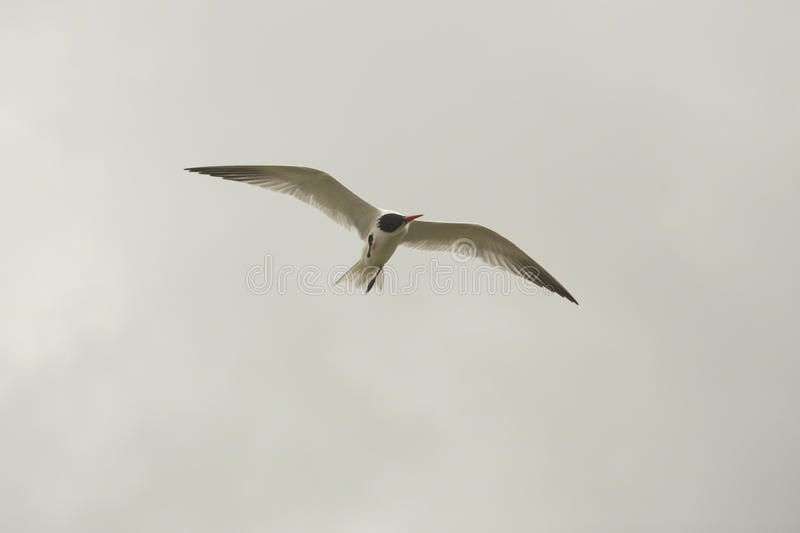Caspian tern flying in a cloudy sky, Orlando Wetlands Park. royalty free stock images
