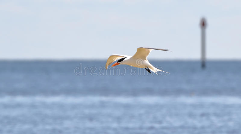 Caspian tern gliding with the ocean as background royalty free stock photography