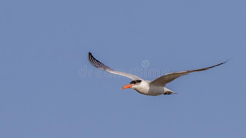 Caspian Tern Hovering royalty free stock images