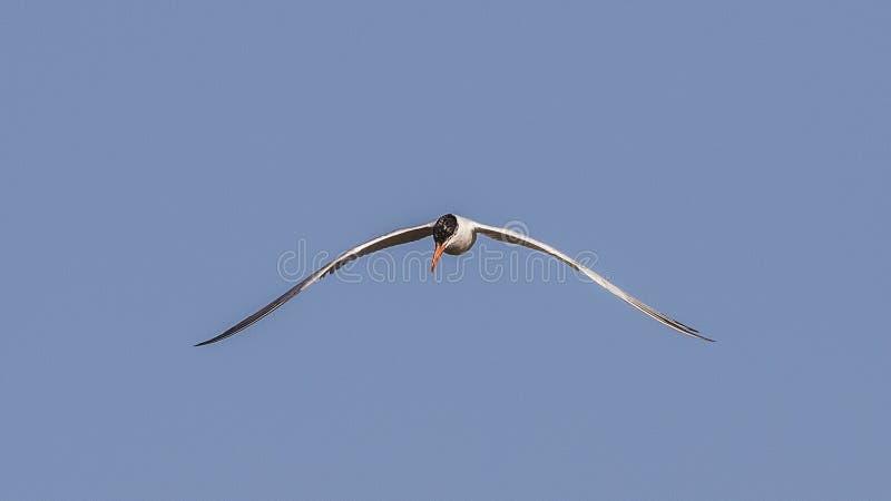 Caspian Tern Soaring. Caspian tern, Hydroprogne caspia, is hovering on clear blue sky stock photography