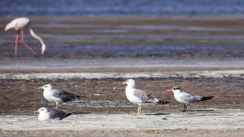 Caspian Tern royalty free stock images