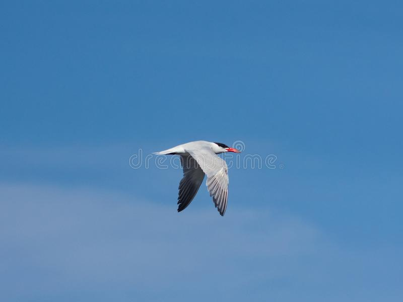 Caspian tern, Hydroprogne or Sterna caspia, flight against blue sky, selective focus, shallow DOF royalty free stock image