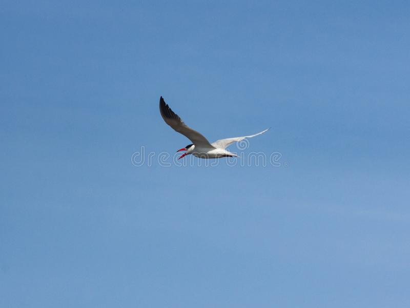 Caspian tern, Hydroprogne or Sterna caspia, flight against blue sky, selective focus, shallow DOF.  royalty free stock photos