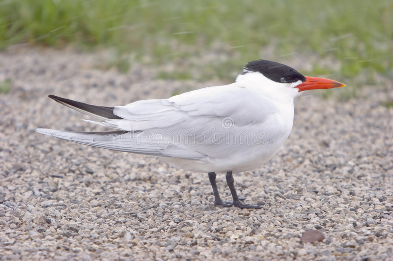 Download Caspian Tern In A Snow Storm Stock Image - Image of beak, windy: 181009