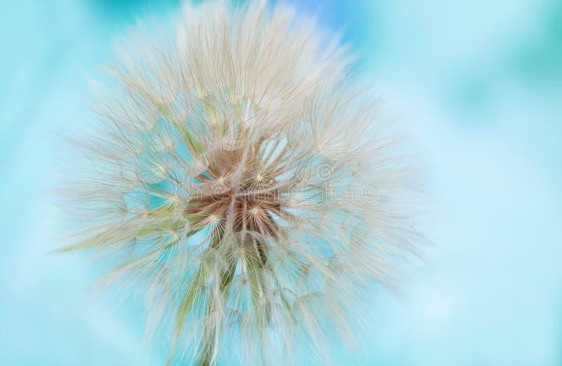Casquillo de la semilla del diente de león en fondo azul abstracto fotos de archivo libres de regalías