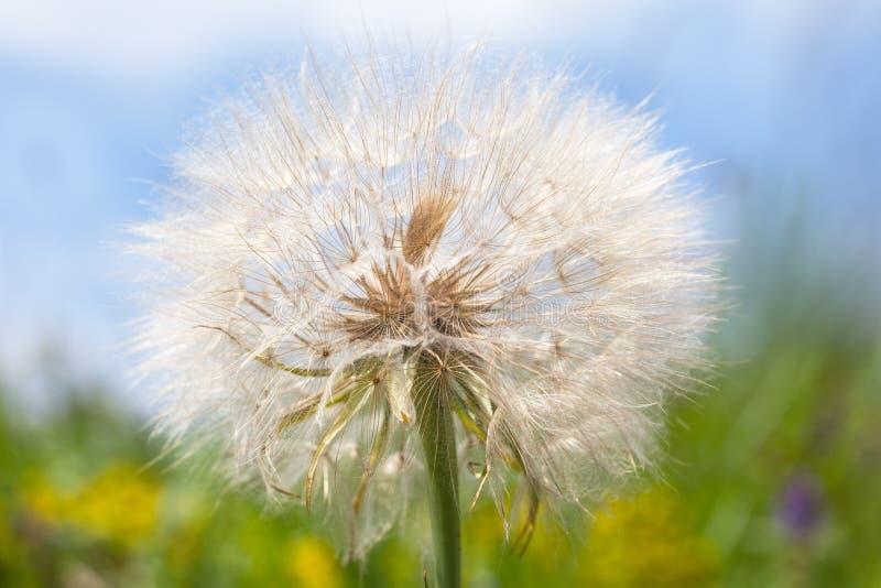 Casquillo de la semilla del diente de león en prado verde foto de archivo libre de regalías