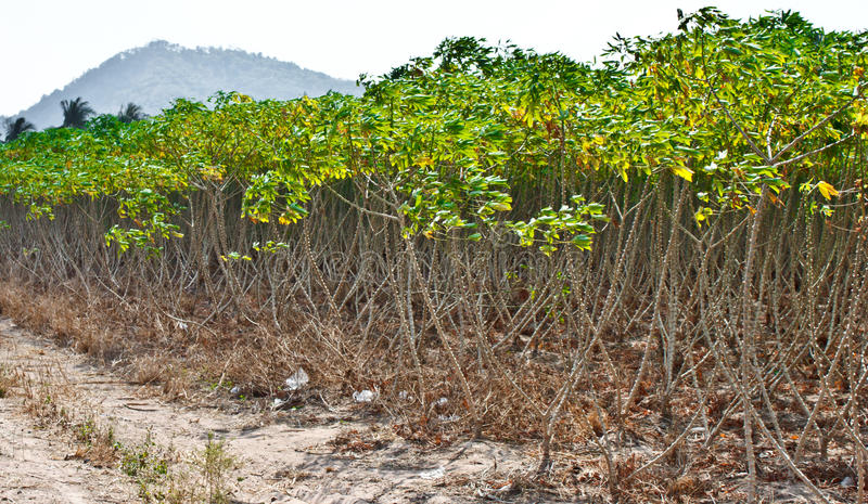Cassava crop royalty free stock photos