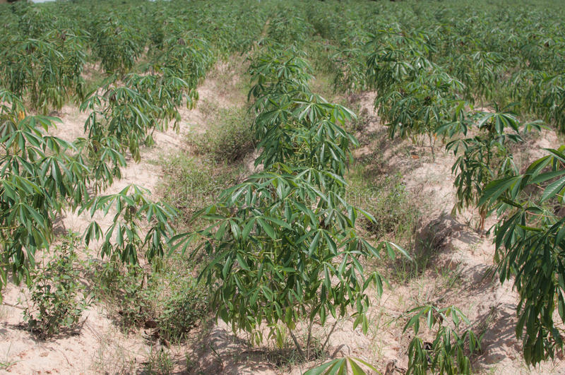 Cassava crop royalty free stock images