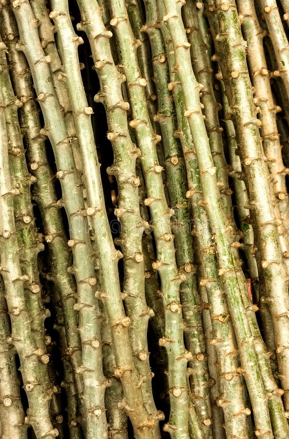 Download Cassava cuttings stock photo. Image of nature, cassava - 30656732