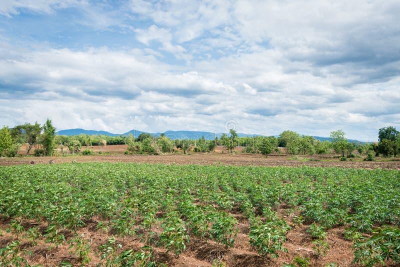 Cassava-fält eller tapioca-fält royaltyfri fotografi