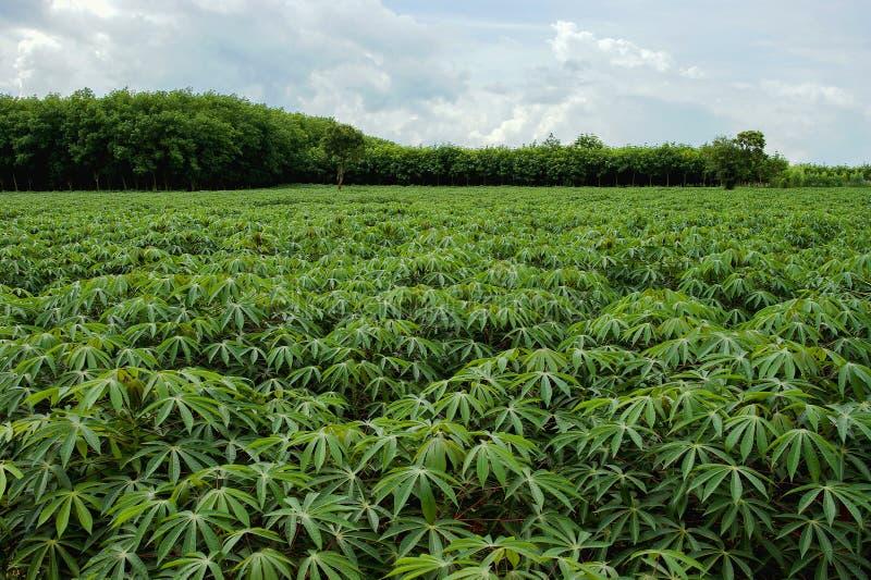 Cassava farm royalty free stock images
