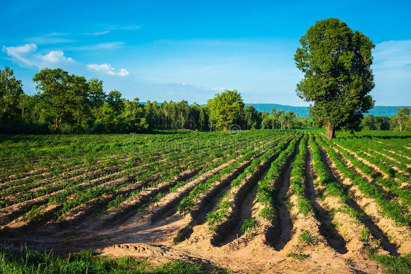 Cassava Farm in Thailand. Farm of cassava or manioc growing in the farm, countryside of Thailand royalty free stock image