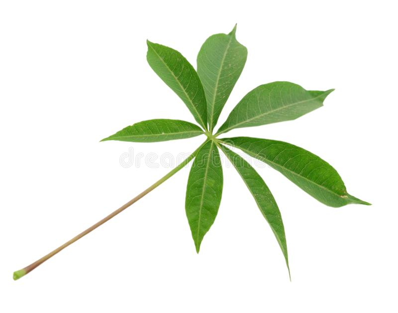 Cassava leaf. royalty free stock photography