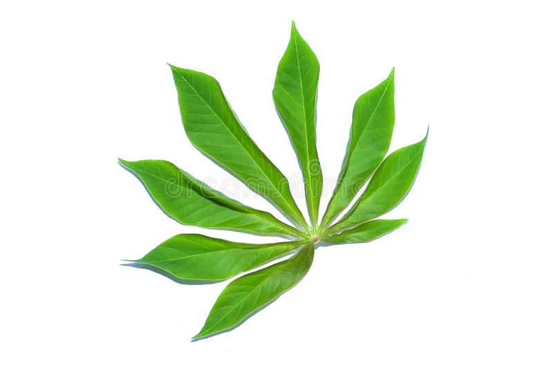 Cassava leaf, the tropical evergreen vine isolated on white background, clipping path includedLarge heart shaped green l. Cassava leaf, the tropical evergreen royalty free stock image