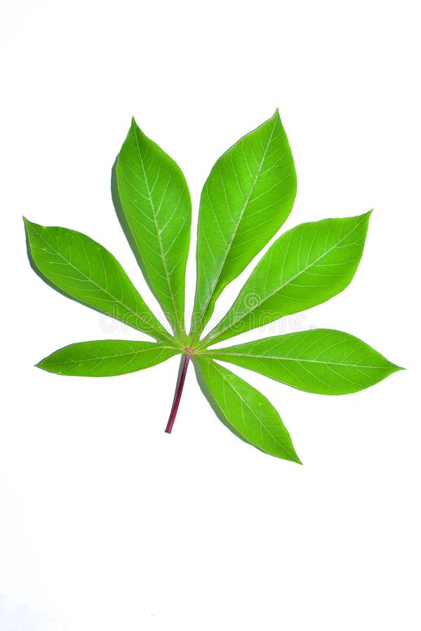 Cassava leaf, the tropical evergreen vine isolated on white background, clipping path includedLarge heart shaped green l. Cassava leaf, the tropical evergreen royalty free stock photo