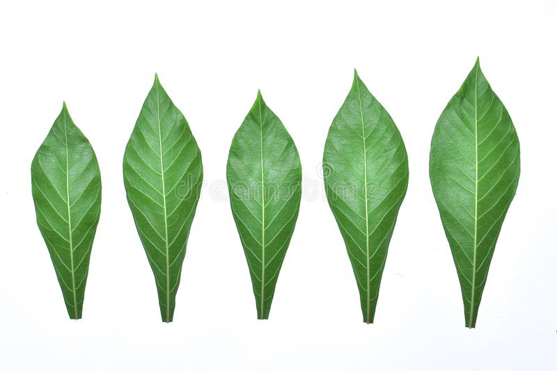 Cassava leaf, the tropical evergreen vine isolated on white background, clipping path includedLarge heart shaped green l. Cassava leaf, the tropical evergreen stock photography