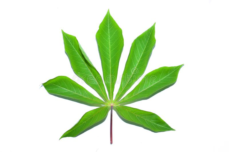 Cassava leaf, the tropical evergreen vine isolated on white background, clipping path includedLarge heart shaped green l. Cassava leaf, the tropical evergreen royalty free stock images