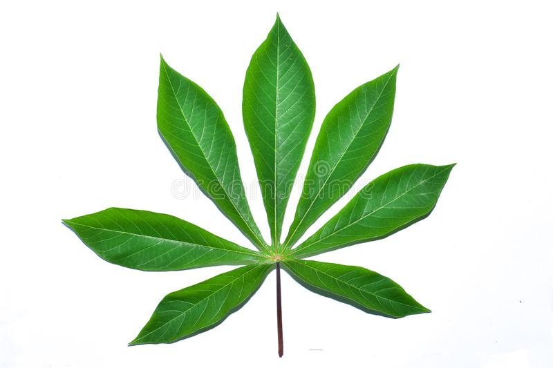 Cassava leaf, the tropical evergreen vine isolated on white background, clipping path includedLarge heart shaped green l. Cassava leaf, the tropical evergreen stock photos