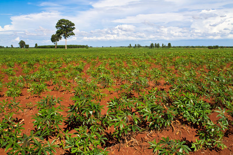 Download Cassava Or Manioc Plant Field Stock Photo - Image: 20515952