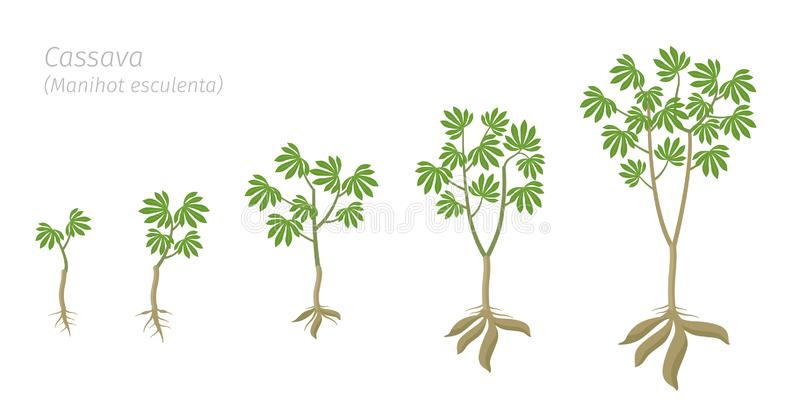 Cassava plant growth stages set. Manihot esculenta ripening period progression. Manioc, yuca macaxeira mandioca and aipim life. Cycle animation phases. Cassava vector illustration
