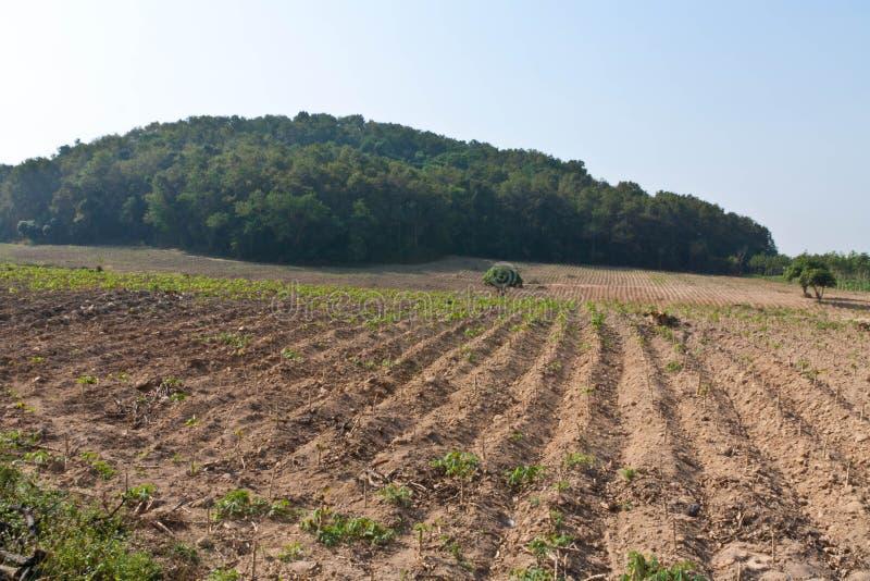 Download Cassava Plantation. Royalty Free Stock Images - Image: 28760899