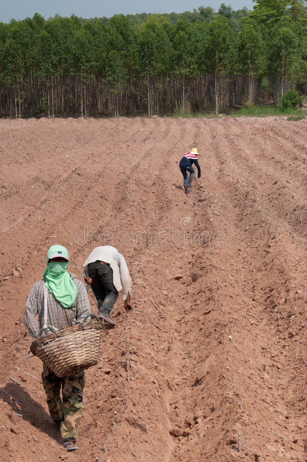 Cassava planting royalty free stock photos