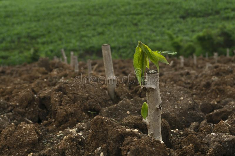 Cassava stem cuttings, seedlings of cassava are grown after planting stock photos
