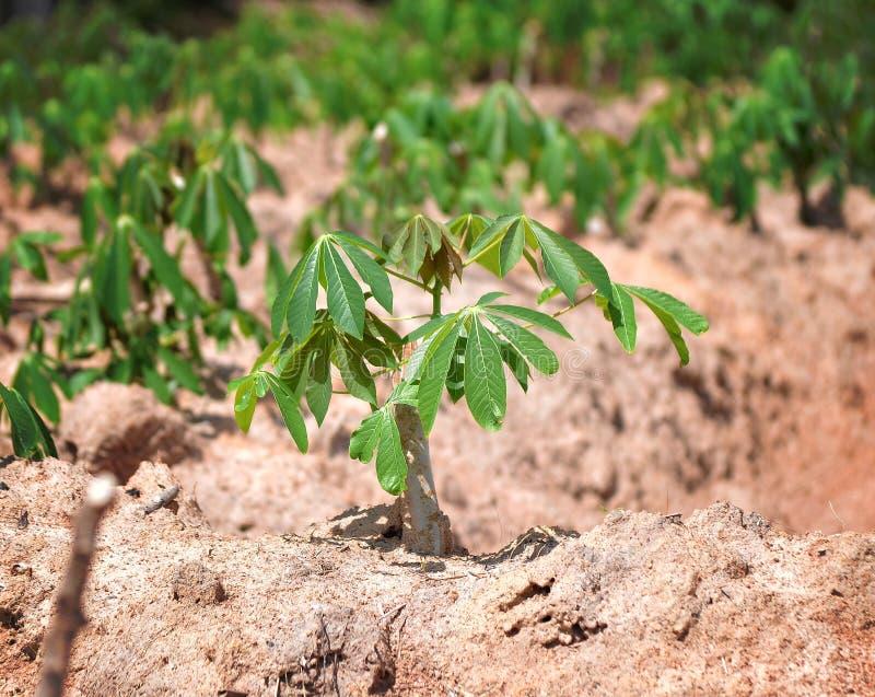 Cassava tree royalty free stock images