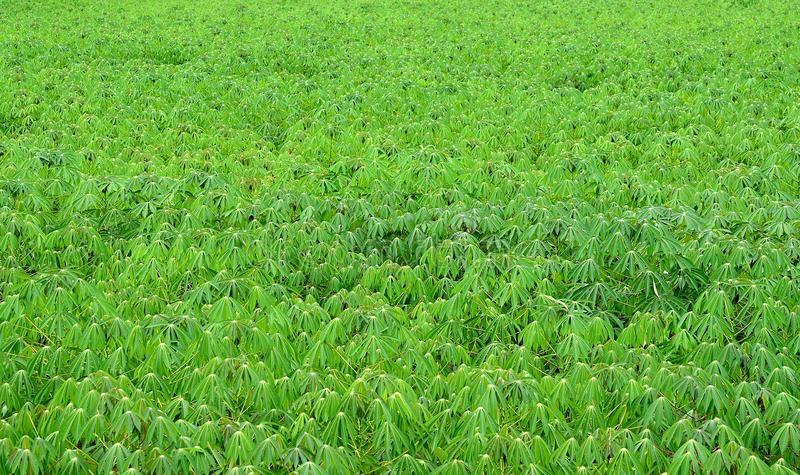 Cassava tree stock photo
