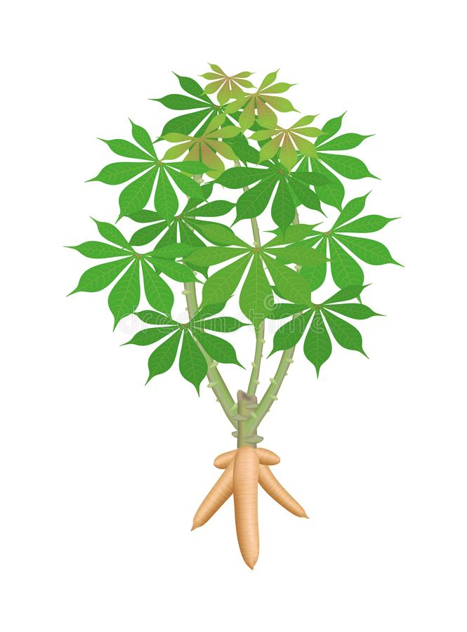 Cassava tree plant, cassava rhizomes isolated on white background, manioc cassava roots underground plants, cassava plantation. The cassava tree plant, cassava vector illustration