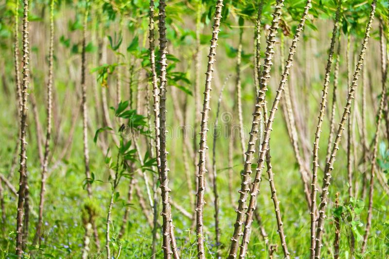 Cassava trees are growing and the leaves are in the garden royalty free stock image