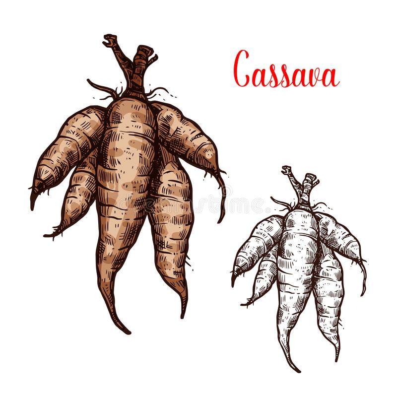 Cassava vector sketch of tropical plant tuber royalty free illustration