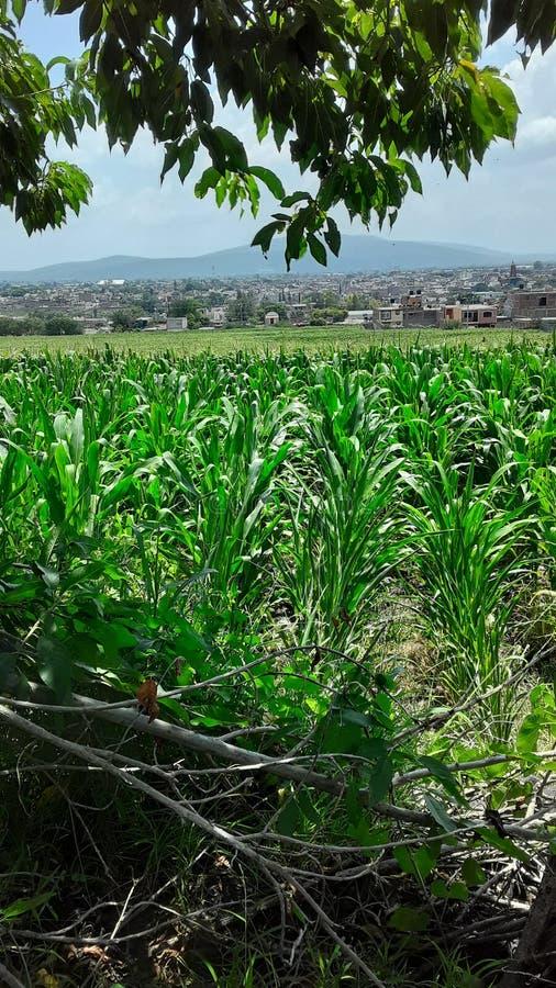 Cassawata corn feild Rivera Jalisco Mexico 库存图片