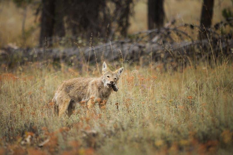 Casse-croûte de coyote images libres de droits