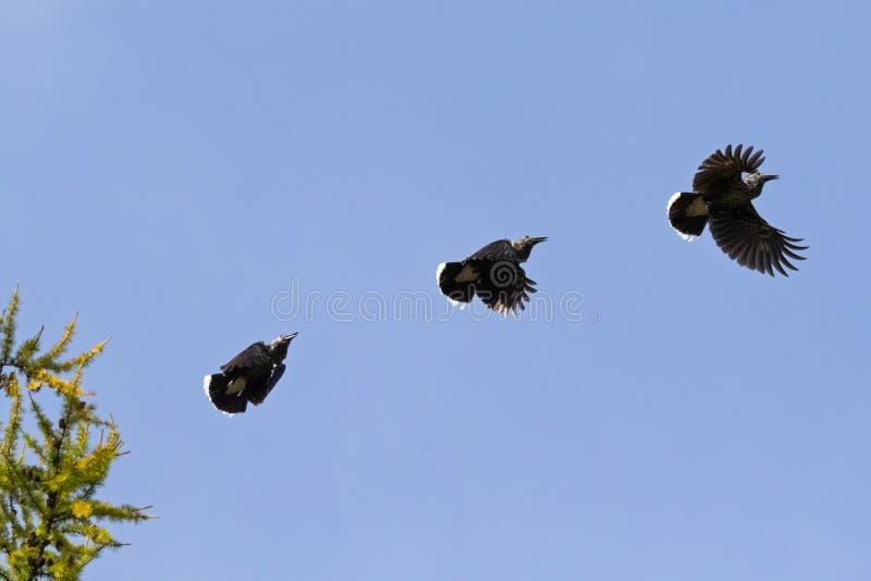 Casse-noix repéré par Eurasien en vol Oiseau brun chocolat avec images libres de droits