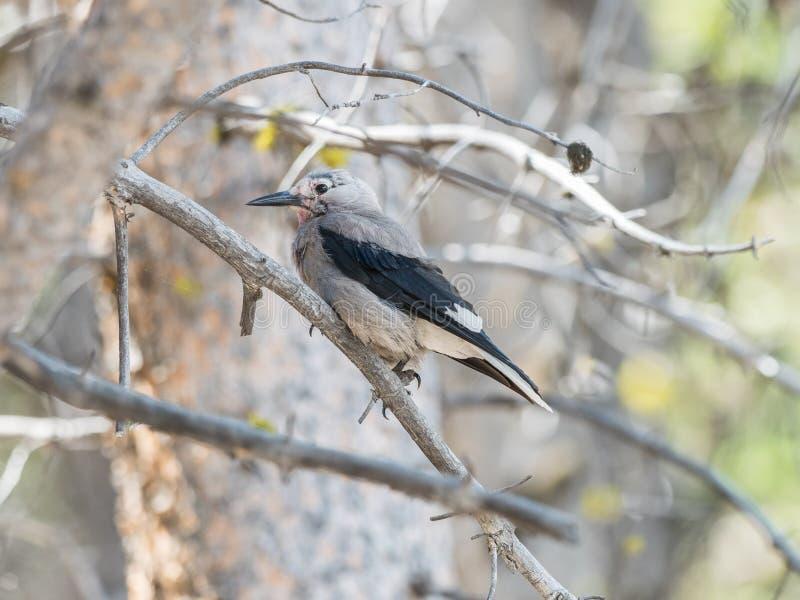 Download Casse-noix sur l'arbre photo stock. Image du oiseau, yeux - 77159850