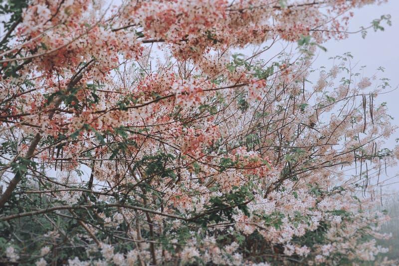 Cassia bakeriana tree. royalty free stock image