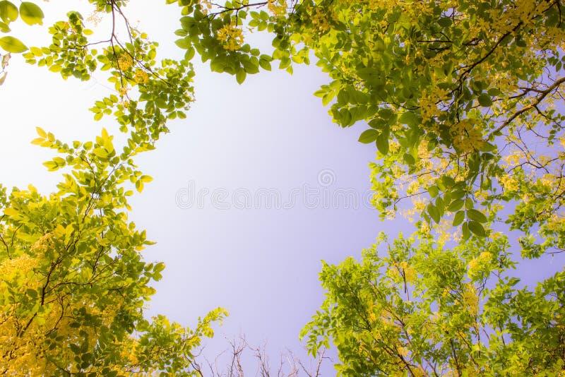 Cassia Fistula stock foto
