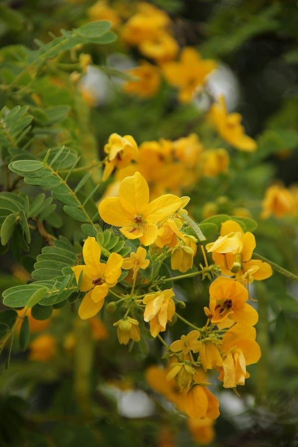 Cassia Fistula stockfoto