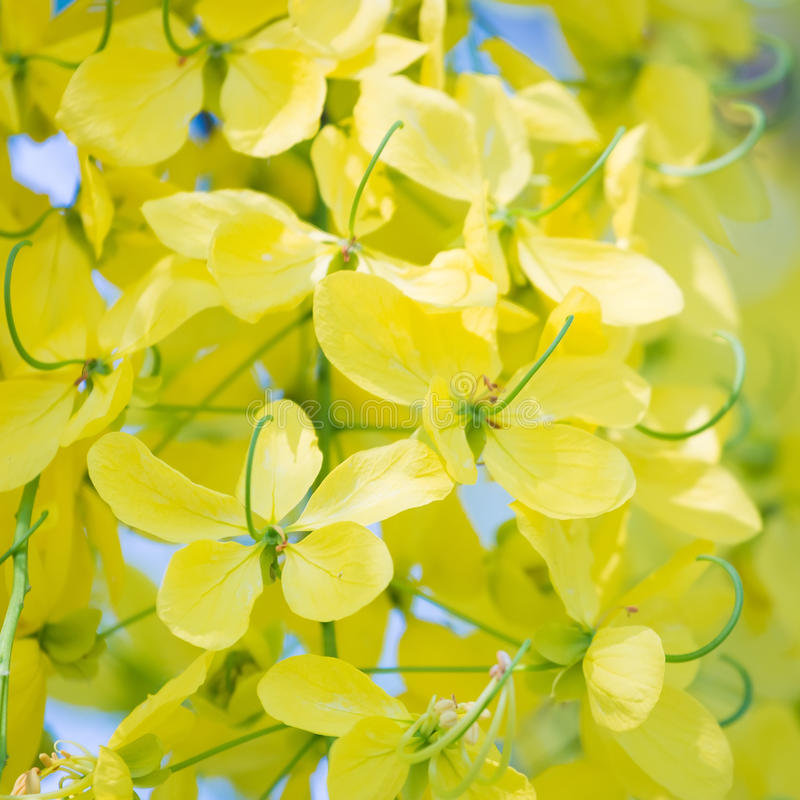Cassia Fistula lizenzfreie stockfotografie