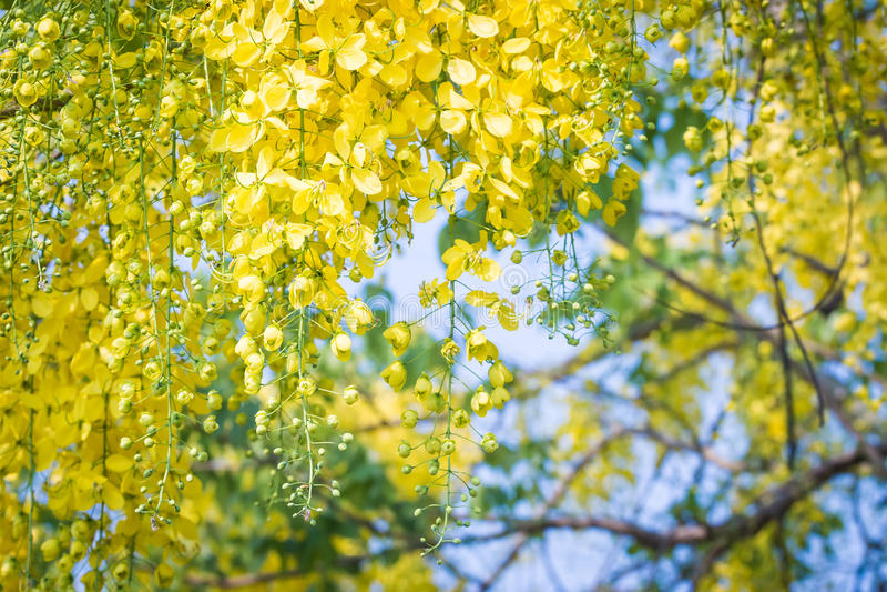 Cassia Fistula stockbild
